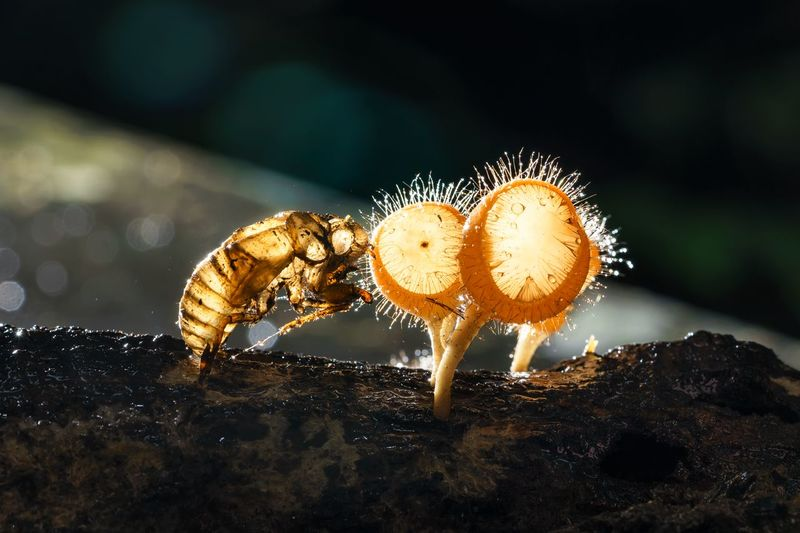 Cicada and his mushroom friend after rainy Animal Themes Beauty In Nature Cicada Close-up Focus On Foreground Illuminated Insect Macro Photography Moisture Mushroom Nature No People Orange Color Outdoors Selective Focus Wood