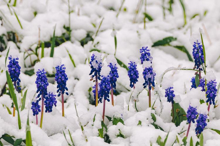 Close-up of purple flowering plants on snow field