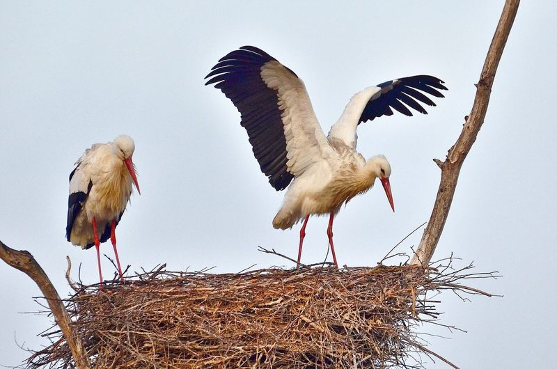 Close-up of storks in nest against clear sky