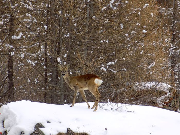 Animal Themes Animals In The Wild Beauty In Nature Cold Temperature Day Deer Domestic Animals Field Mammal Nature No People One Animal Outdoors Snow Tree Weather Winter