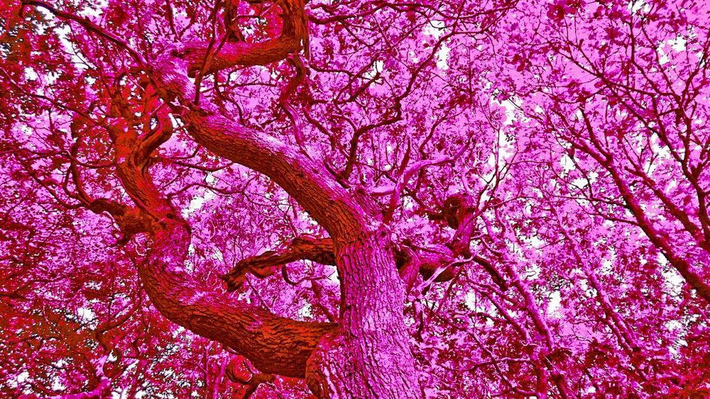 The purple tree Taking Photos Check This Out Beutiful  Colour Of Life Color Palette Taking Photos Color Palatte New Talents Unique Amazing Trees Beutiful Nature Beuty Of Nature Edited My Way Amazing Nature Purple Tree Purple