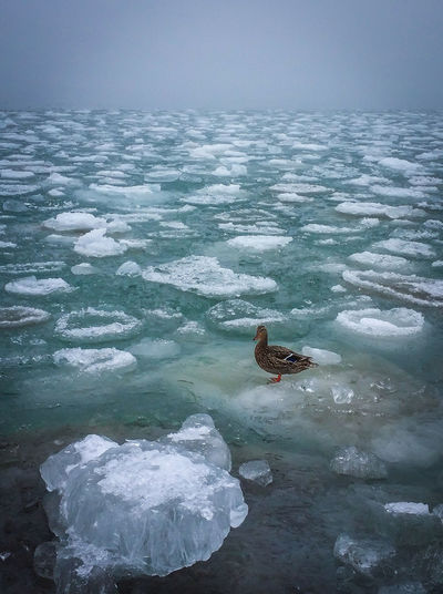 Animal Themes Animals In The Wild Beauty In Nature Bird Close-up Day Duck Floating Ice Ice Flow Lake Lake Ontario Lake View Melting Ice Nature No People One Animal Outdoors Sea Life Swimming Water Winter Lost In The Landscape Perspectives On Nature Shades Of Winter Love Yourself