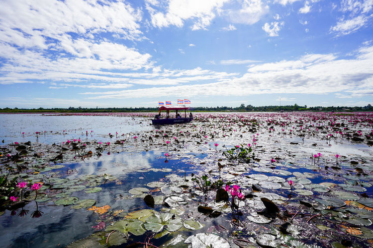 Water Sky Cloud - Sky Transportation Mode Of Transportation Nature Day Flower Beauty In Nature Land Vehicle Flowering Plant Plant No People Scenics - Nature Outdoors Motion Nautical Vessel Lake Floating On Water ทะเลบัวแดง
