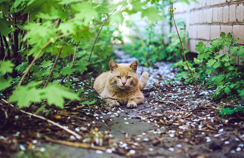 Portrait of a ginger yard cat lying on ground