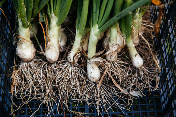 Green onions at a farm Agriculture Eating Farm Green Green Color Nature Plant Vegetarian Food Close-up Dirt Food And Drink Fresh Garden Harvest Healthy Eating Ingredient Nature_collection Nutrition Onion Organic Roots Tasty Vegetable Vegtables Vitamin