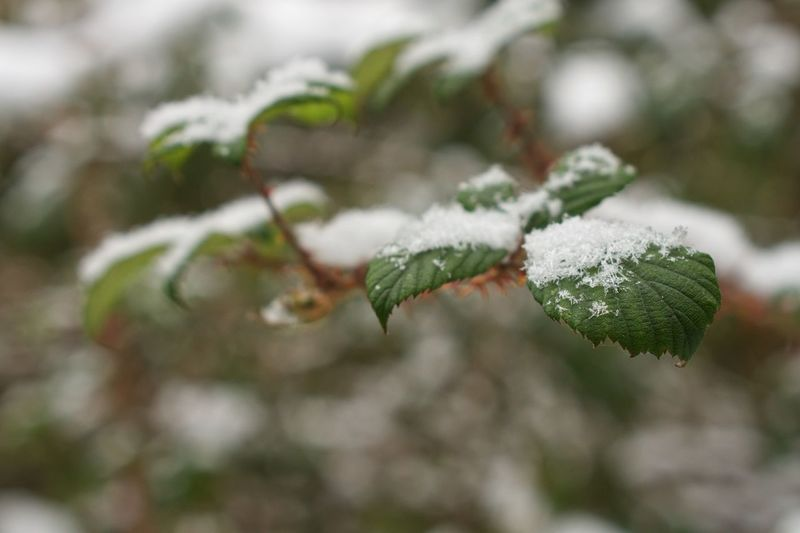 Snowflake Winter Cold Temperature Snow Nature Weather Beauty In Nature Outdoors Growth Focus On Foreground No People Green Color Close-up Frozen Fragility Tree Plant Freshness