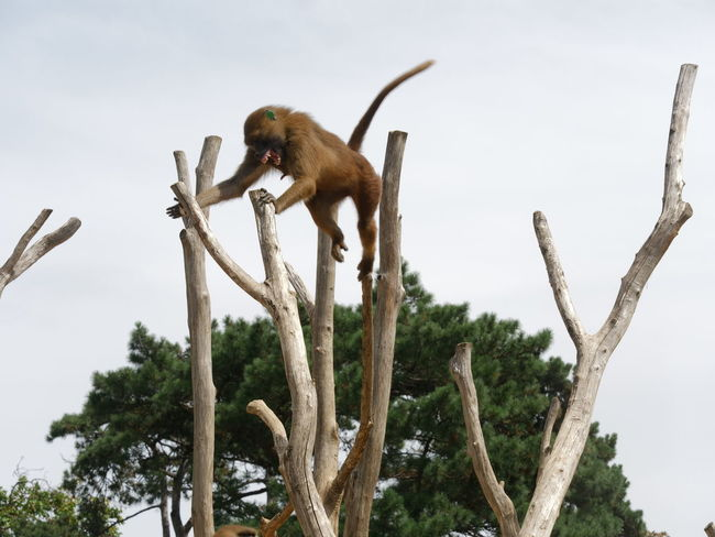 Zoo Animal Themes Animal Wildlife Animals In The Wild Baboon Branch Day Low Angle View Mammal Monkey Nature No People One Animal Outdoors Perching Sky Tree