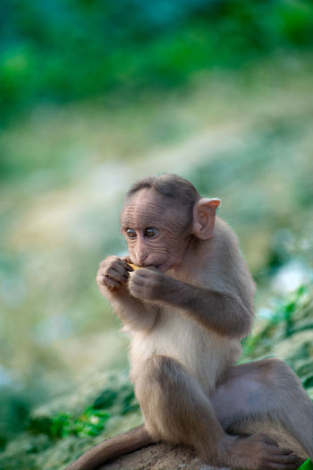 A monkey sitting on a cliff and eating food