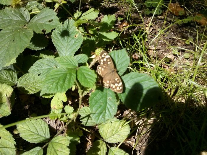 Speckled Wood butterfly in Stanney Woods .
