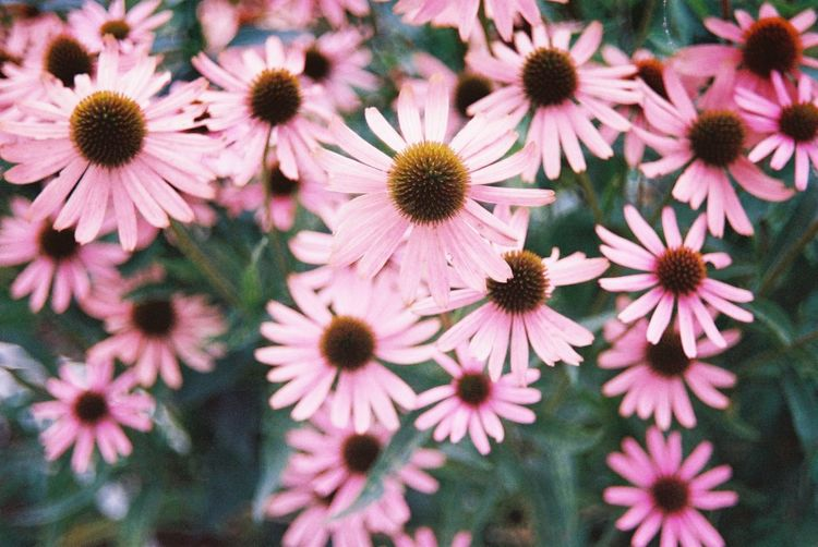 Full Frame Shot Of Pink Daisy Flowers