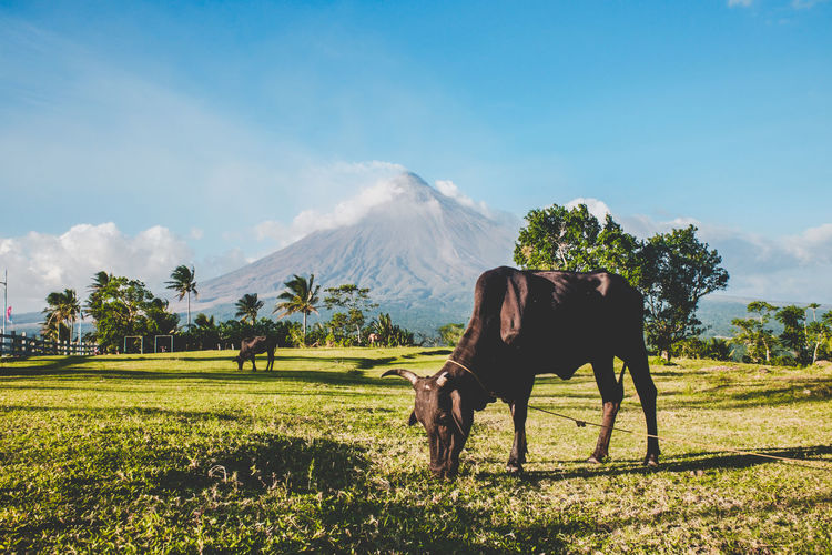 Mt. Mayon Sneak Peek Animals In The Wild EyeEm Best Edits EyeEm Best Shots EyeEm Best Shots - Landscape EyeEm Best Shots - Nature EyeEm Nature Lover EyeEm Selects EyeEm Gallery EyeEmBestPics EyeEmNewHere Eyeem Philippines Farm Life Grandeur Mt. Mayon Volcano Philippines Rolling Hills Animal Wildlife Scenics Viewdeck The Great Outdoors - 2018 EyeEm Awards The Street Photographer - 2018 EyeEm Awards The Traveler - 2018 EyeEm Awards