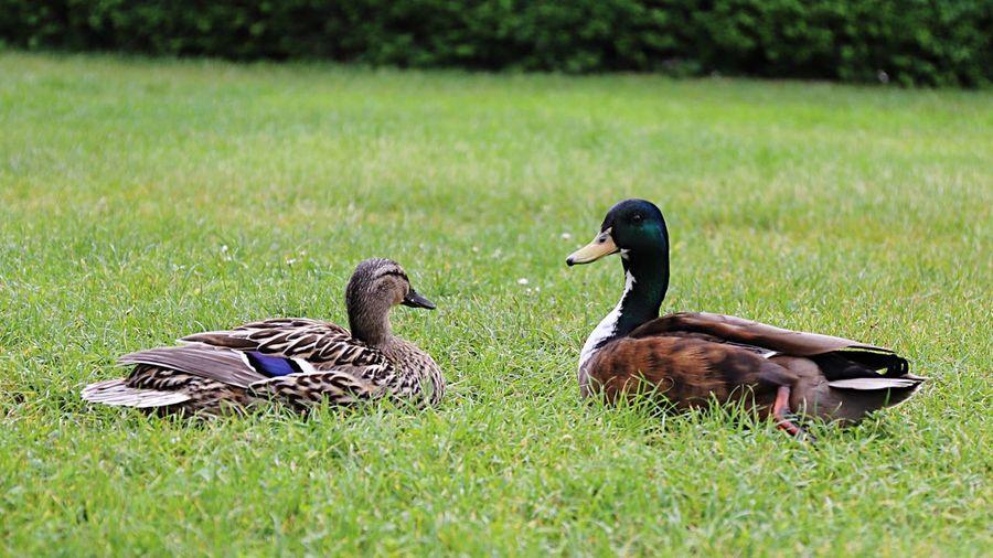 🦆 Ducks. II