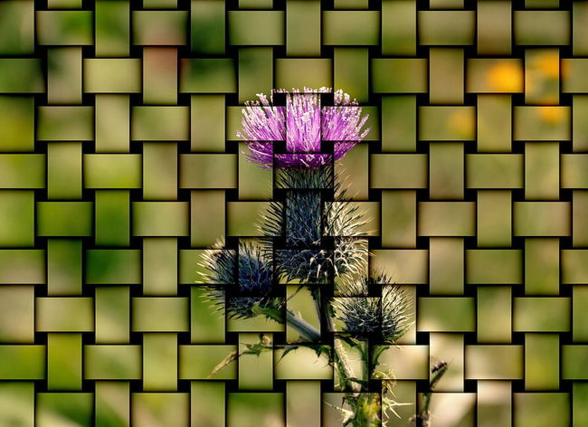 in nature everything is connected! (special effect in ACDSee Ultimate 10) ACDSee Blooming Day Framework Growth Nature No People Outdoors Special Effects Structure And Nature Structures & Lines Thistle Thistle Flower Wickerwork