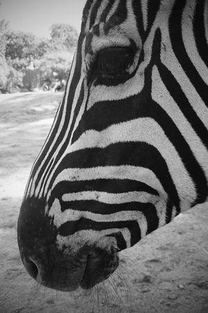 Zebra Blackandwhite Nature Wildlife Phoneography