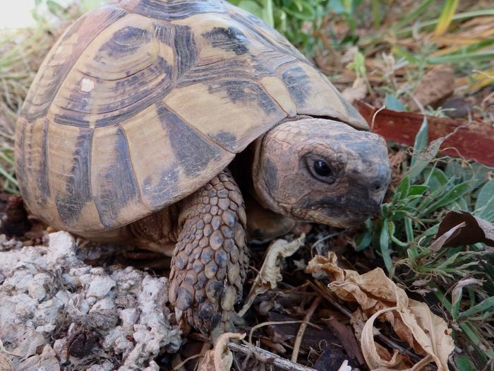 Nature On Your Doorstep we are on holiday now, and these turtle is live in the garden here. Turtle EyeEm Nature Lover EyeEm Animal Lover Animal In The Garden Nature_collection Teknős