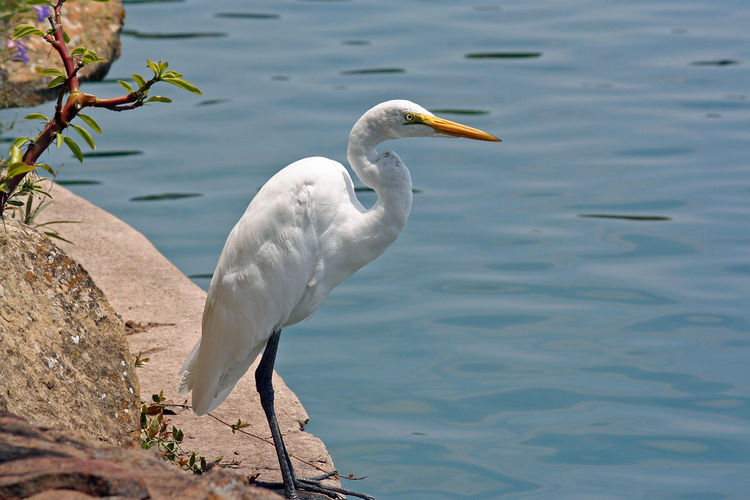 Side View Of Egret Standing By Lake