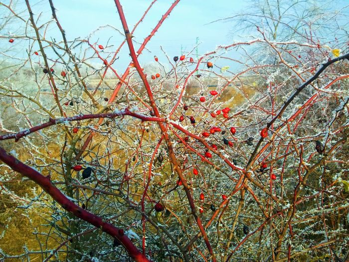 Rosehip Beauty In Nature Branch Close-up Day Freshness Growth Low Angle View Nature No People Outdoors Sky Tree