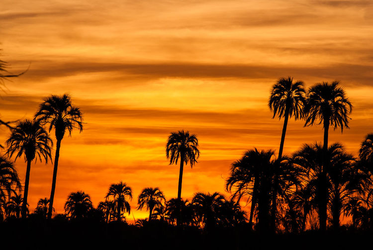 Silhouette palm trees against orange sky during sunset