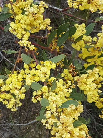 Vibrant Color Yellow Wattle Flower Adelaide South Australia