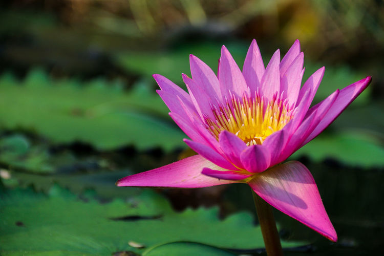 lotus Flower Flowering Plant Water Lily Petal Plant Inflorescence Flower Head Beauty In Nature Freshness Close-up Vulnerability  Fragility Growth Pink Color Leaf Lake Water Focus On Foreground Lotus Water Lily No People Pollen Floating On Water Purple