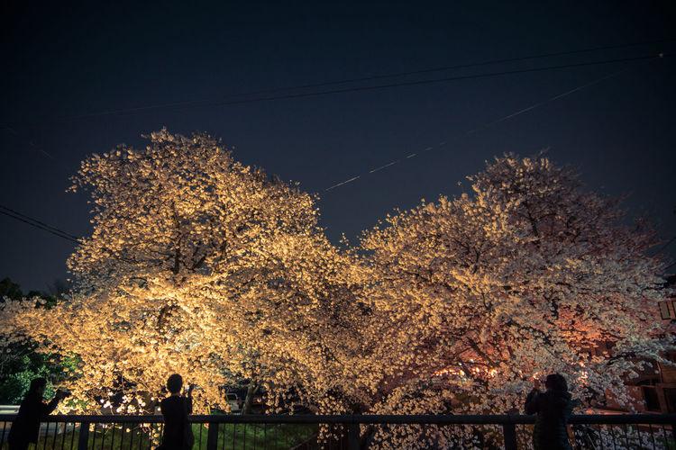 桜 Growing Young