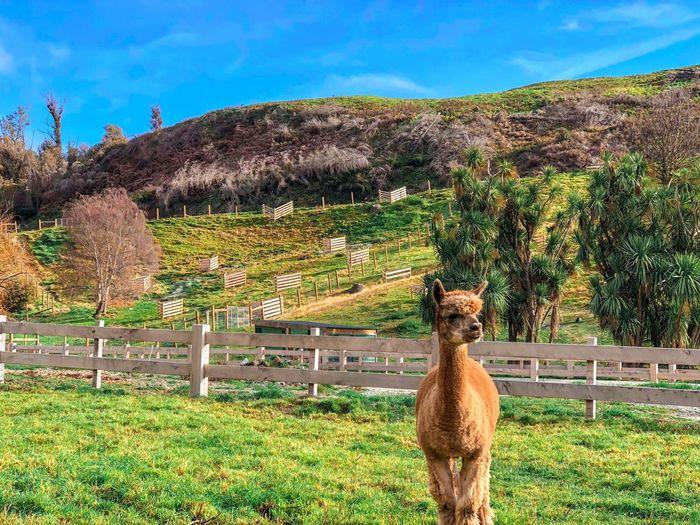 Shy Fella Farm Alpaca Caramel One Animal Livestock Brown Domestic Animals Llama