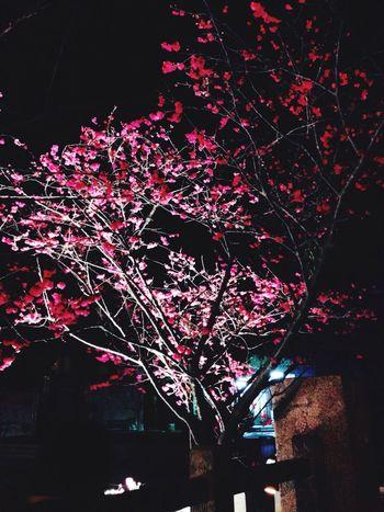 夜櫻 泰安 櫻花 Night Flower Outdoors Cherry Blossom Cherry Tree Cherry Blossom Viewing Cherry Blossoms At Night Cherry Blossom🌸 還不太滿~有點稀疏