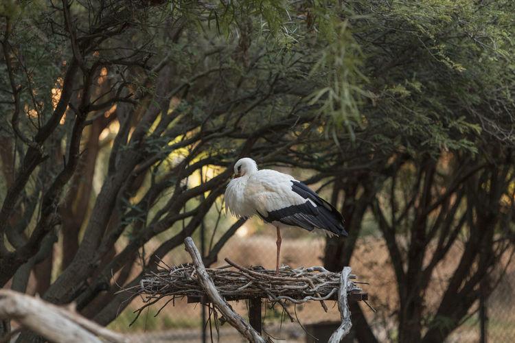 White stork perching on nest against trees