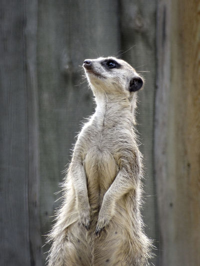 Close-up of meerkat standing against wall