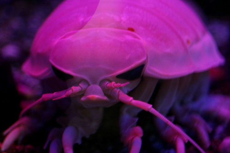 (・_・)/ ダイオウグソクムシ Bathynomus Giganteus Pink Animal Hello World Taking Photos EyeEm Best Shots From My Point Of View Sea Japan EyeEm Gallery