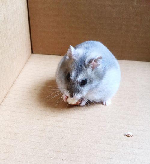 Hamster Hamster Love Russian Dwarf Hamsters  Dwarf Hamster