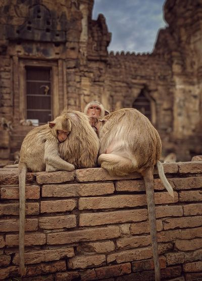 Monkey sitting on a wall of a building