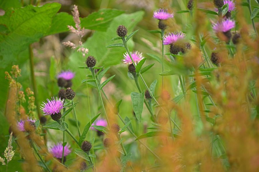 Thistles. EyeEm Best Shots - Flowers EyeEm Nature Lover EyeEm Gallery From My Point Of View Life's Simple Pleasures... Taking Pictures Beauty In Nature Blooming Eye4photography  Flower Flowers Fragility Freshness Growth Nature Purple Selective Focus Thistle