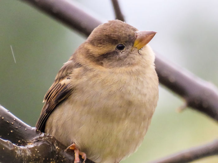 Sparrow Bird Animal Wildlife Nature One Animal No People Close-up Day Outdoors Looking At Camera Portrait Branch Tree Living Organism Mississauga Ontario NewEyeEmPhotographer NewEyEm