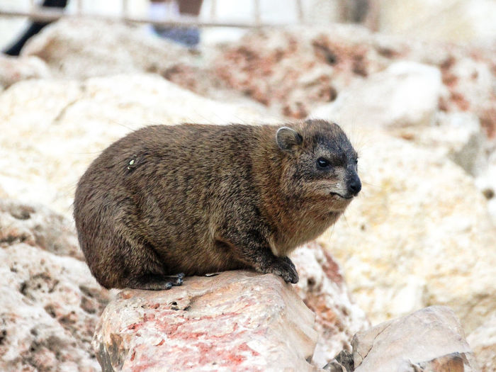 Close-up of rock hyrax outdoors