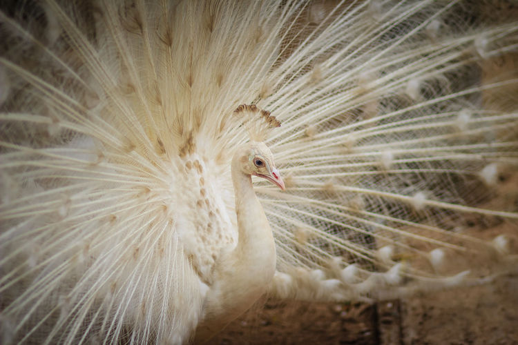 Beautiful white peafowl with feathers out. White male peacock with spread feathers. Albino peacock with fully opened tail. Albino Peafowl White Peacock Albino Albino Bird Albino Peacock Animal Body Part Animal Wildlife Animals In The Wild Beauty In Nature Bird Close-up Day Fanned Out Feather  Feathers Of A Bird Male Peacock Nature No People One Animal Opened Tail Outdoors Peacock Peacock Feather Peacock Feathers Peacockphotos Peafowl Peafowl Chicks Peafowl Head Peafowl Tail Spread Feathers Vertebrate White Color White Peacock Dancing White Peafowl