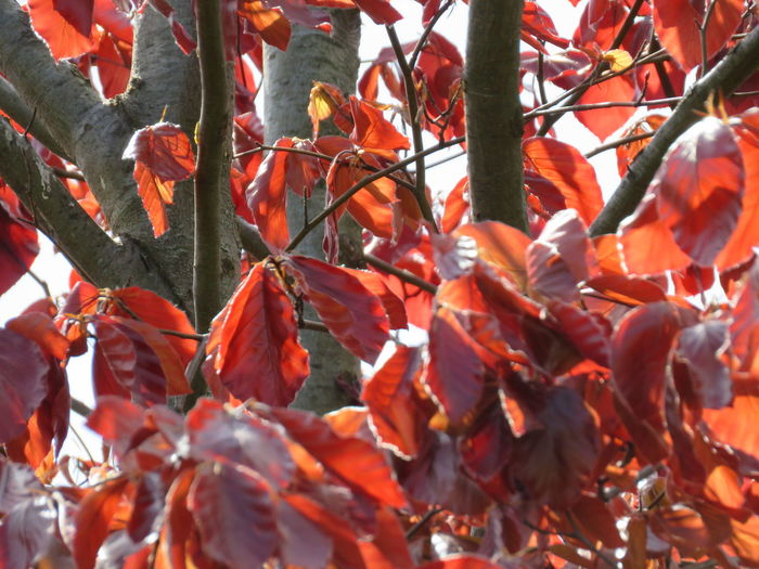 Lightfull red leafs of a tree Colorfull Colorful Texture Tree Lightful Tree Leaf Autumn Red Fruit Change Full Frame Close-up Leaves
