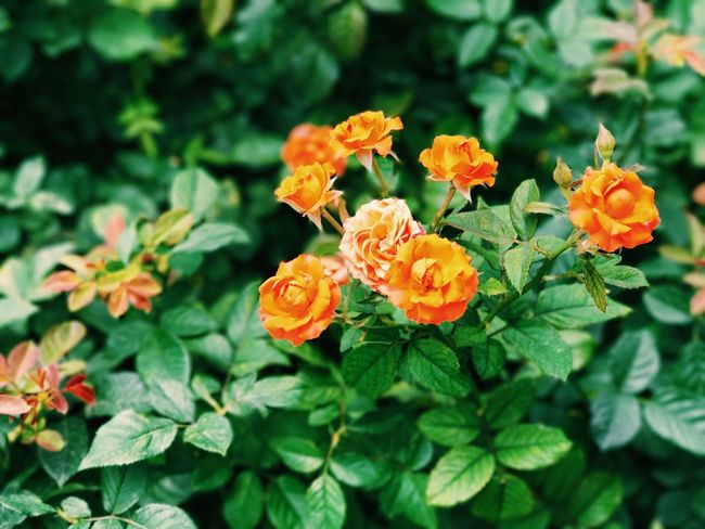 No Guns, Only Roses Flowering Plant Flower Plant Fragility Freshness Vulnerability  Beauty In Nature Growth Close-up Leaf Plant Part Nature Flower Head Green Color Orange Color No People Park Day Inflorescence Petal