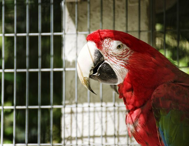 Animal Themes One Animal Bird Cage Red No People Close-up Beak Parrot Animal Wildlife Animals In The Wild Day Birdcage Outdoors Nature Macaw USAtrip Parrot Mountain Bird In Cage