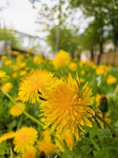 Flower Flowering Plant Yellow Plant Fragility Freshness Vulnerability  Inflorescence Focus On Foreground Close-up Growth No People Field Beauty In Nature Outdoors Flower Head Petal Land Day Nature
