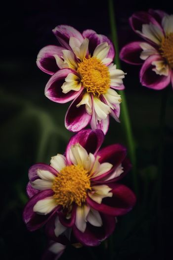Dahlias Dahlia Flowering Plant Flower Fragility Vulnerability  Petal Plant Flower Head Purple Pollen Nature Pink Color No People Yellow Growth Close-up Outdoors Freshness Focus On Foreground Inflorescence Beauty In Nature