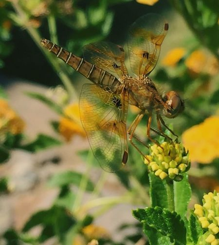 Just checking it out! Dragonfly_of_the_day Dragonfly Nature Insects Dragonfly💛 Dragonflywings Brown Nature Photography Animals In The Wild One Animal Flower Close-up Plant Focus On Foreground No People Animal Wildlife Nature Fragility Beauty In Nature Freshness