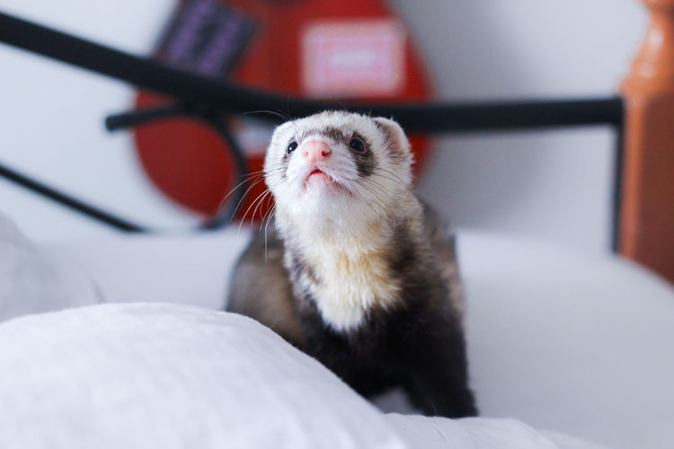 Günther Ferret Happy Animal Animal Portrait Curiosity Cute Domestic Animals Indoors  No People Pet Portrait