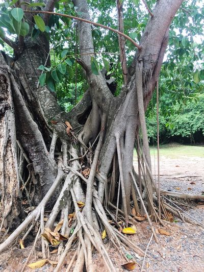 EyeEmNewHere Tree Tree Trunk Nature Forest Branch Root Growth Outdoors Tranquility Beauty In Nature Day Spreading No People Swing Tree Area EyeEmBestPics Eye4photography  Animals In The Wild EyeEm Best Shots EyeEm Best Edits Beauty In Nature Tranquility Nature Tree Trunk