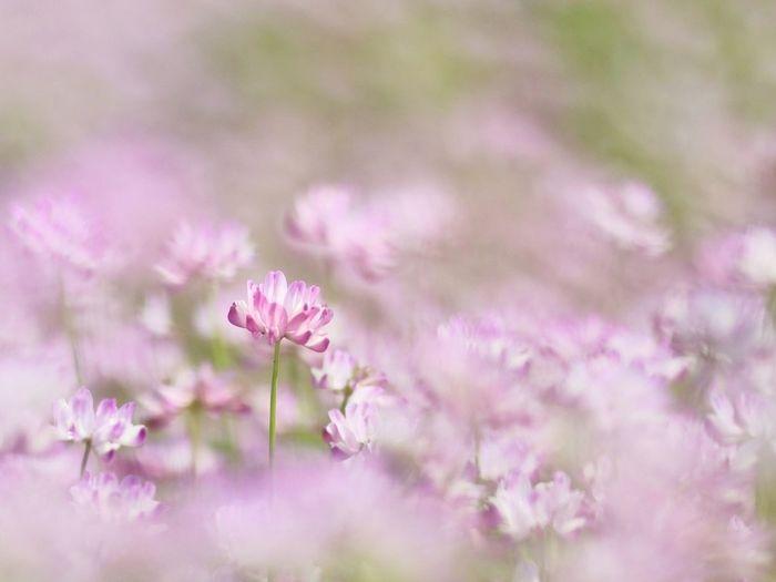 日本 Japan EyeEm Best Shots EyeEm Gallery EyeEm EyeEm Nature Lover Japan Photography Eyeemphotography Pink Color Pinkflower Flower Head Flower Beauty Closing Defocused Pink Color Natural Parkland Springtime Purple Blossom