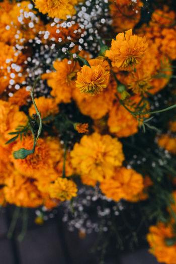 Close-up of marigold