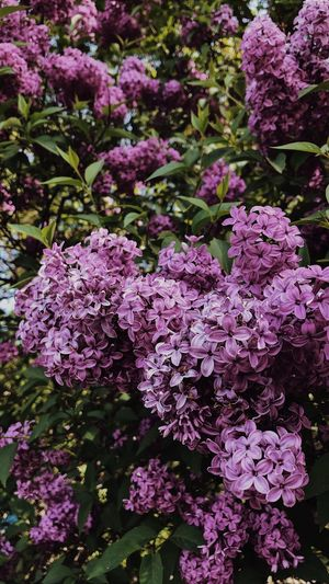 lilac Springtime Spring Flower In Bloom Flower Naturelovers Purple Lilac Purple Flower Lilac Flower Growth Plant Pink Color Flowering Plant Flower Freshness Beauty In Nature Nature Day Botany No People Purple Lilac Blossom Close-up Plant Part Outdoors