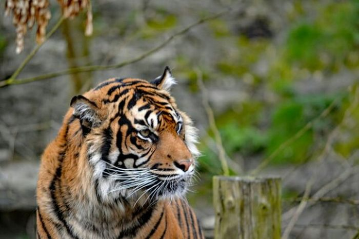 Tiger Tiger Love Zoo Hanging Out Check This Out