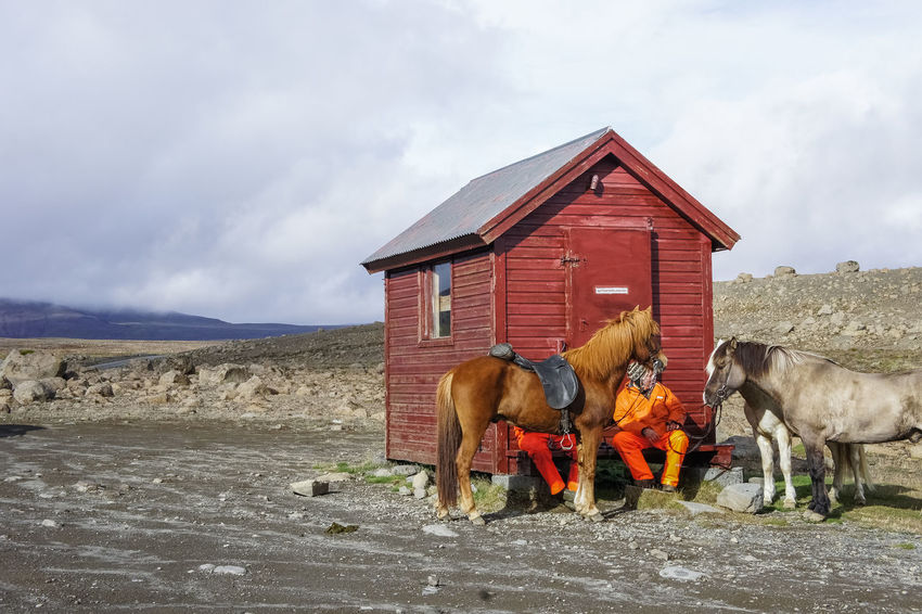 Shepherds of Icelandic sheep are resting. Horses Woman Animal Themes Built Structure Cloud - Sky Day Domestic Animals Horse Iceland Trip Iclandic Horses Lava Field Livestock Mammal Nature Outdoors Pets Red House Resting Shepherds Sky