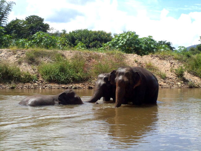 Elephant Nature Park, a true sanctuary place #play #river #sisters  Animal Animal Themes Animals In The Wild Balance Day Elephant Full Length Getting Away From It All Grass Mammal One Animal Outdoors Relaxing Side View Standing Summer Two Animals Wildlife Zoology